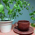 Como cultivar hortelã em casa