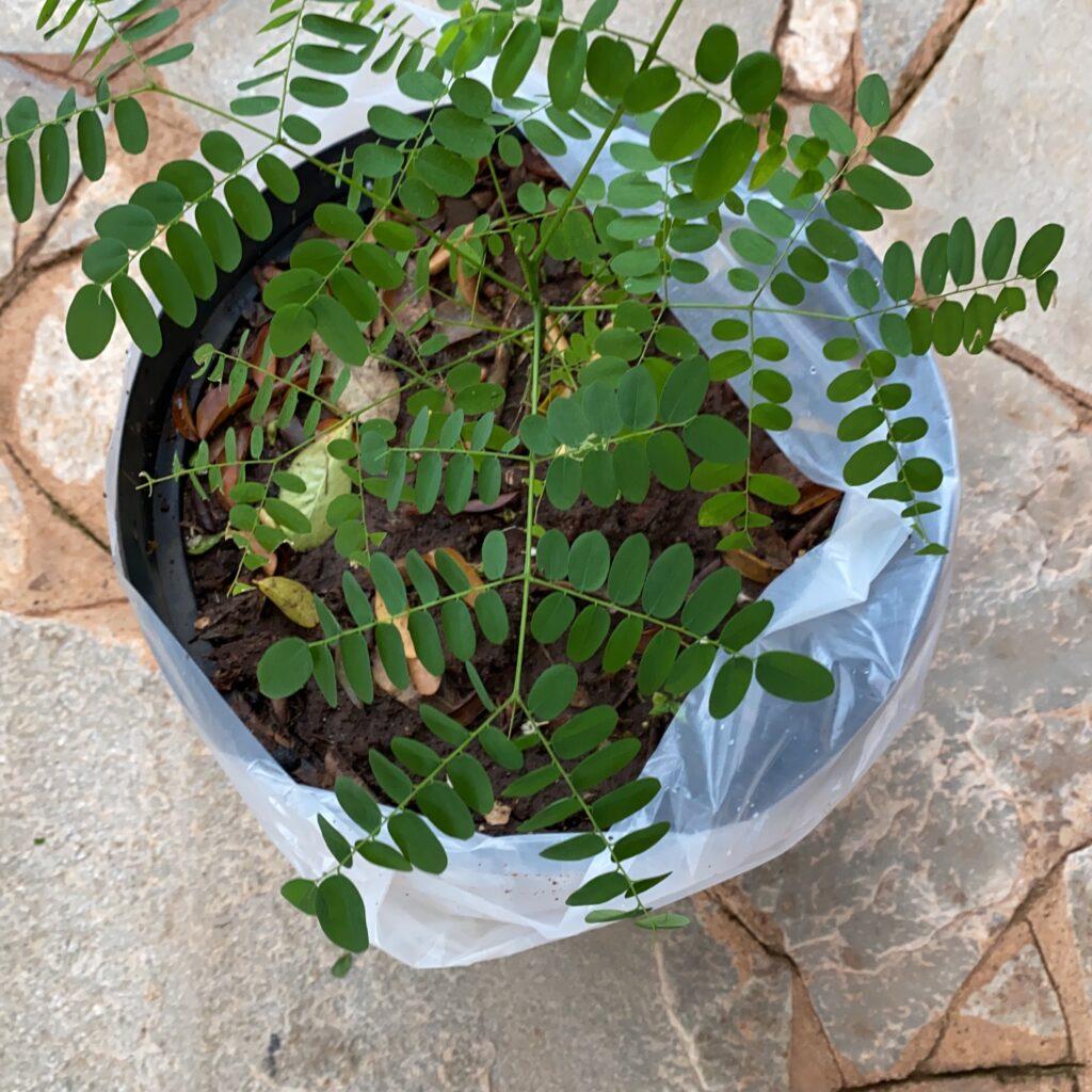Plantamos um pau-brasil no sítio!